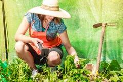 Vrouw met het tuinieren hulpmiddel die in serre werken Stock Foto's