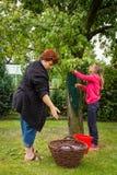 Vrouw met meisje het plukken pruimen Stock Fotografie