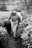Vrouw om de thee op theeaanplantingen weg te verzamelen Stock Foto