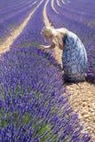 Vrouw op lavendelgebied Stock Afbeelding