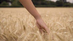 Vrouw of tiener vrouwelijke meisjeshand die de bovenkant van een gebied van gouden gerst, graan of tarwegewas voelen stock video