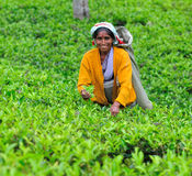 Vrouw van de oogsten van Sri Lanka in theeblaadjes. Stock Fotografie