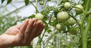 Vrouw wat betreft groene tomaten in de tuin stock videobeelden