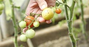 Vrouw wat betreft groene tomaten in de tuin stock video