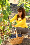 Vrouw in wijngaard Stock Afbeeldingen