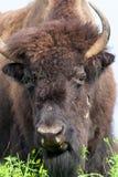 Vrouwelijk Bison Face royalty-vrije stock foto