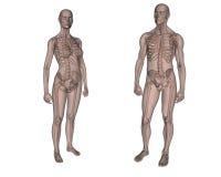 Vrouwelijk en Mannelijk skelet vector illustratie