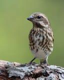 Vrouwelijk Finch Eating Seeds royalty-vrije stock foto's