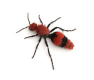 Vrouwelijk Fluweel Ant Wingless Wasp Royalty-vrije Stock Afbeeldingen