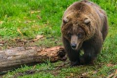 Vrouwelijk Grizzly omhoog dichtbij Gekauwd Logboek Stock Foto's