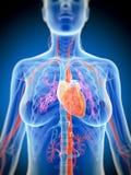 Vrouwelijk hart Stock Foto's