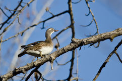 Vrouwelijk Houten Duck Looking aan de Hemel terwijl Neergestreken in een Boom royalty-vrije stock foto