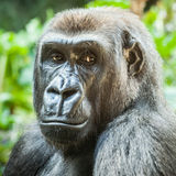 Vrouwelijk Laagland Gorilla Looking Serious of Bored royalty-vrije stock afbeelding