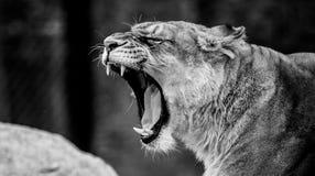 Vrouwelijk Leeuwportret gebrul royalty-vrije stock afbeeldingen