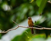 Vrouwelijk Lesser Seed Finch Royalty-vrije Stock Foto
