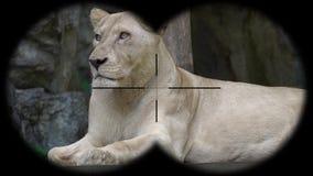 Vrouwelijk Lion Seen door Verrekijkers Het letten op Dieren bij het Wildsafari stock footage