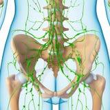 Vrouwelijk Lymfatisch systeem van half lichaam Royalty-vrije Stock Foto