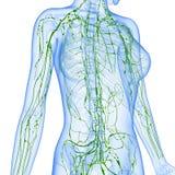 Vrouwelijk Lymfatisch systeem van half lichaam Stock Afbeeldingen