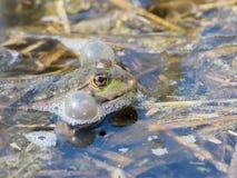 Vrouwelijk Marsh Frog Stock Fotografie