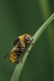 Vrouwelijk Narcissus Fly Royalty-vrije Stock Afbeelding