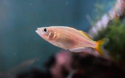 Vrouwelijk Neon Dwergrainbowfish Royalty-vrije Stock Foto