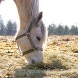 Vrouwelijk paard die droog hooi op het gebied eten Stock Foto's