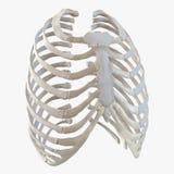 Vrouwelijk Ribcage-Skelet op wit 3D Illustratie Stock Foto