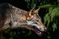Vrouwelijk wolfsportret royalty-vrije stock foto
