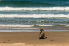 Vrouwelijk zeeleeuwhoppen over strand Stock Foto's