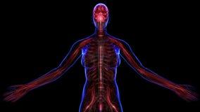 Vrouwelijk zenuwstelsel royalty-vrije illustratie