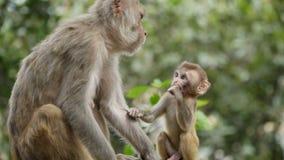 Vrouwelijke aap met welp stock video