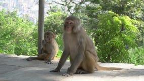 Vrouwelijke aap met welp stock footage