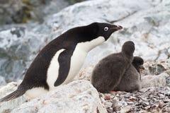 Vrouwelijke Adelie-pinguïnen dichtbij het nest waarin kuikens Royalty-vrije Stock Foto's