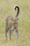 Vrouwelijke Afrikaanse Luipaard die, Tanzania lopen Royalty-vrije Stock Foto