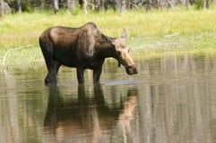 Vrouwelijke Amerikaanse elanden Royalty-vrije Stock Afbeelding