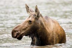 Vrouwelijke Amerikaanse elanden Stock Foto