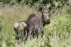 Vrouwelijke Amerikaanse elanden Royalty-vrije Stock Foto