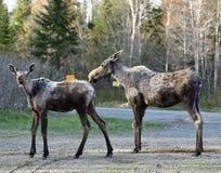 Vrouwelijke Amerikaanse elanden en Eenjarig Kalf Royalty-vrije Stock Afbeeldingen