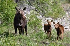 Vrouwelijke Amerikaanse elanden met twee calfs het eten royalty-vrije stock afbeelding