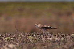 Vrouwelijke Amerikaanse torenvalkvogel, Falco-sparverius stock fotografie