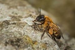 Vrouwelijke Andrena Mining Bee Stock Afbeeldingen