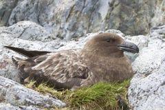 Vrouwelijke Antarctische of bruine jager die op de eieren zit Royalty-vrije Stock Foto's