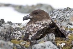 Vrouwelijke Antarctische of bruine jager die zitting Stock Afbeeldingen
