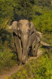 Vrouwelijke Aziatische olifant en Babyolifant Corbett Tiger Reserve, Uttarakhand, India royalty-vrije stock fotografie