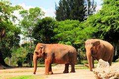 Vrouwelijke Aziatische olifanten stock afbeeldingen