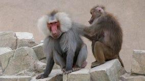 Vrouwelijke baviaan die een mannelijke baviaan verzorgen stock afbeeldingen