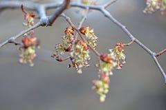 Vrouwelijke bloemen van esdoornas Stock Afbeeldingen