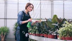 Vrouwelijke bloemist bespuitende bloemen in serre stock footage