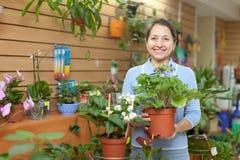 Vrouwelijke bloemist met primula Stock Afbeeldingen