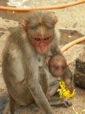 Vrouwelijke Bonnet macaque aap die haar nieuw houden - geboren baby royalty-vrije stock afbeelding